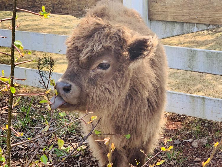 very small brown long haired cow