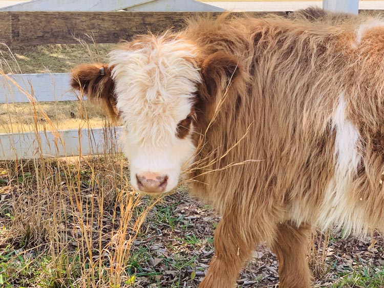 small tan and white long haired cow
